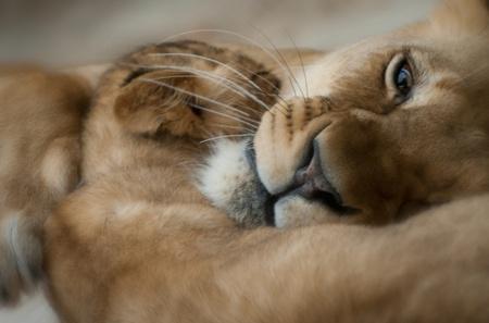 Adulte lionne avec ses quatre Lione b�b� mois Banque d'images