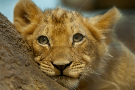 Fyra månader gamla lejon liggande på berget tittar bort