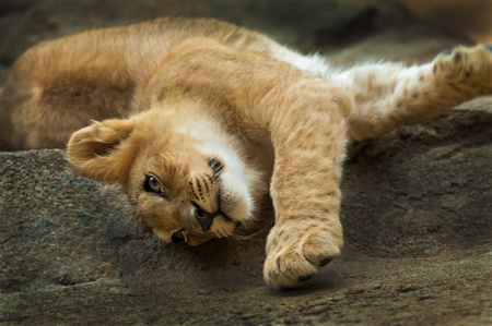 Cute little lion streching after short nap photo