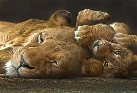 Fyra månader gammal lejon unge som ligger bredvid sin mor tittar in i kameran