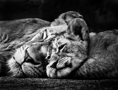 Black and white photo of two sleeping lions