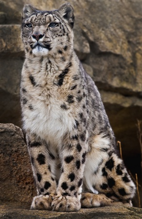 Adult Snow Leopard Sitting on the rock looking away photo