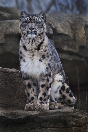 Adult Snow Leopard Sitting on the rock looking towards the camera photo