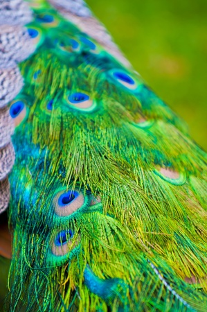 common peafowl: Close-up shot of a vibrant peacock