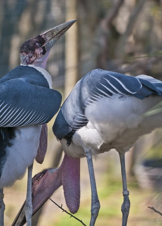 Marabou Storks building their nest, one  holding branch in its beak photo
