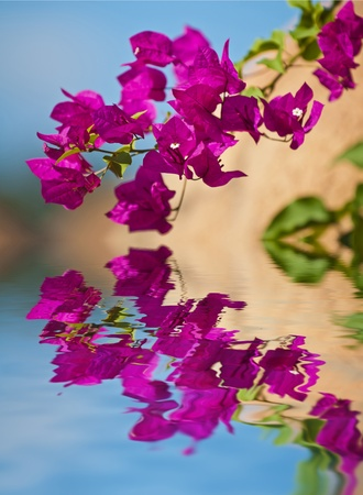 Beautiful Bougainvillea plant reflection in the crystal clear calm water  photo
