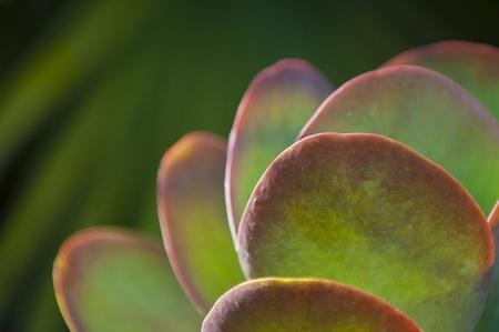 crassula: Beautiful green red leaf pattern - jade plant