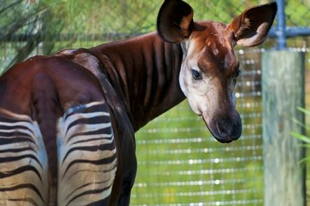 Okapia johnstoni, mammif�re Giraffid� artiodactyles en Afrique centrale Banque d'images