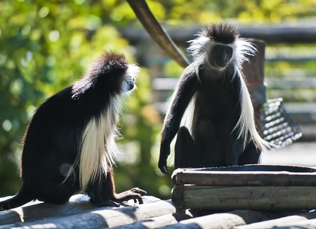 Two Black Monkeys Two Black And White Colobus