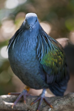 Close-up shot of a nicobar pigeon perched on a tree branch photo