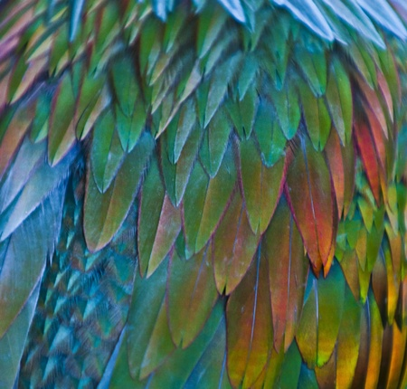 Close-up shot of a nicobar pigeons feathers. photo