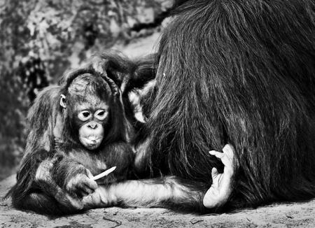 Mother Orangutan Pampers her cute lilttle baby photo