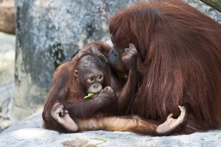 MMother Orangutan Pampers her cute lilttle baby photo