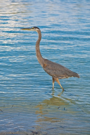 Great Blue Heron walking in the clear blue water  photo