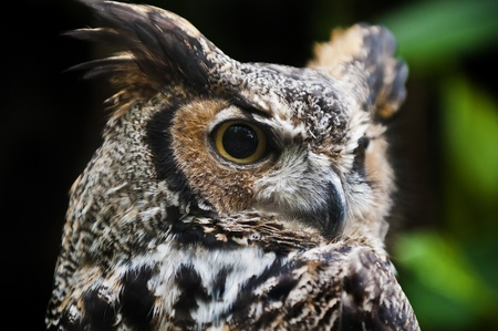Great Horned Owl, (Bubo virginianus), also known as the Tiger Owl Stock Photo - 12015099