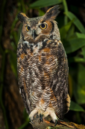 Great Horned Owl, (Bubo virginianus), also known as the Tiger Owl Stock Photo - 12015116