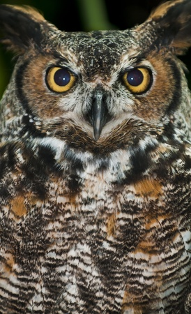Great Horned Owl, (Bubo virginianus), also known as the Tiger Owl photo