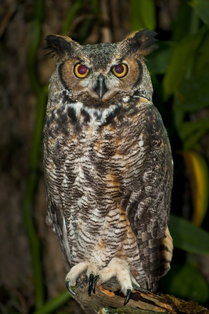 Great Horned Owl, (Bubo virginianus), also known as the Tiger Owl