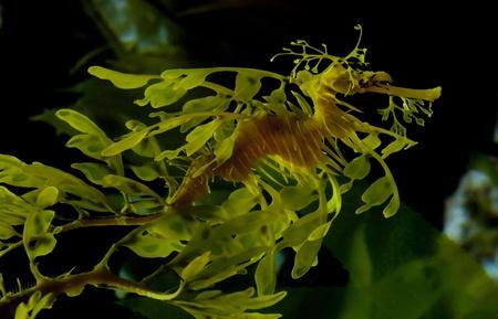 dragon swim: Leafy seadragon also known as Glauerts seadragon
