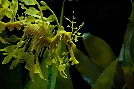 Leafy seadragon also known as Glauert's seadragon photo