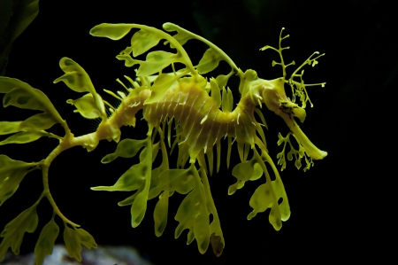 Leafy seadragon also known as Glauerts seadragon photo