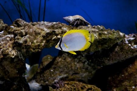 Spot fin butterfly fish in Tampa aquarium photo