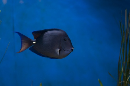Ctenochaetus hawaiiensis - Hawaii-Borstenzahndoktorfisch blue tang fish Stock Photo - 12014683