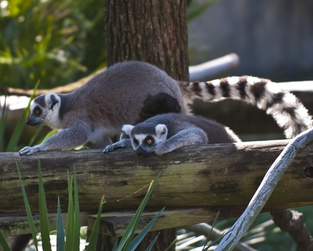 Two lemurs climbing on the tree. photo