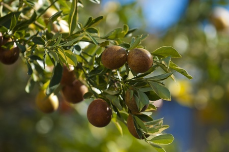 overripe: Over-ripe Tangerine fruits on the tree Stock Photo