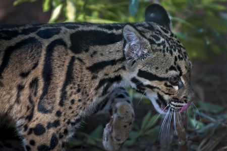 clouded leopard: Young Clouded Leopard - Neofelis Nebulosa