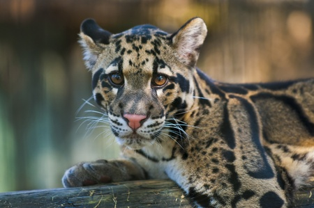 Young Clouded Leopard - Neofelis Nebulosa photo