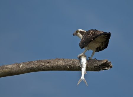 Adult osprey bird holding large fish in it photo