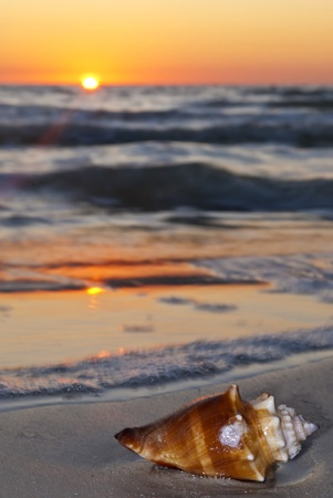 West Indies Fighting Conch on the beach at beautiful sunset photo