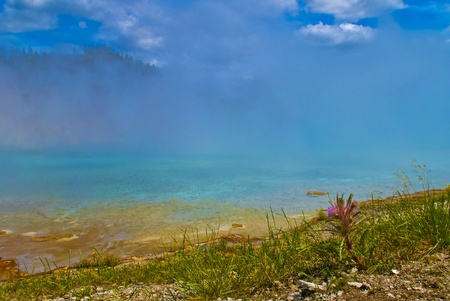 pressurized: Purple wild flower against beautiful steamy geyser in yellowstone national park