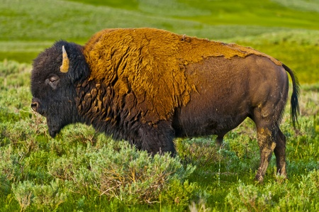 Beautiful Majestic American Buffalo roaming on the Yellowstone Prairie Stock Photo