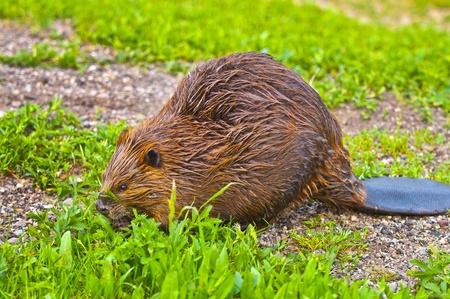 castor: Close-up foto de un castor salvaje comiendo la hierba junto al lago de Yellowstone