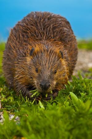 Close-up foto de un castor salvaje comiendo la hierba junto al lago de Yellowstone