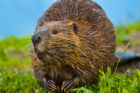 Close-up shot of a wild beaver eating a grass by the lake in Yellowstone
