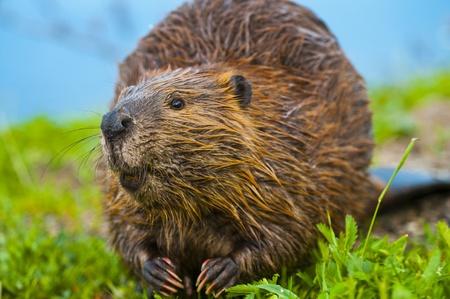 biber: Nahaufnahme eines wilden Biber essen ein Gras am See im Yellowstone erschossen