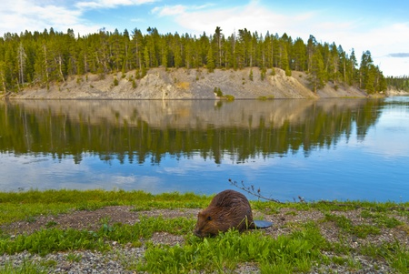 beaver tail: Close-up shot of a wild beaver eating a grass by the lake in Yellowstone