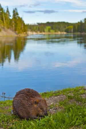 Gros plan d'un castor sauvage de manger une herbe au bord du lac de Yellowstone