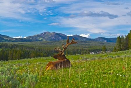 Beautiful Majestic Wild Male Elk in Yellowstone National Park