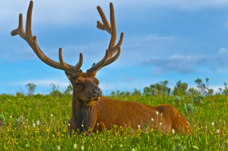 Beautiful Majestic Wild Male Elk in Yellowstone National Park photo