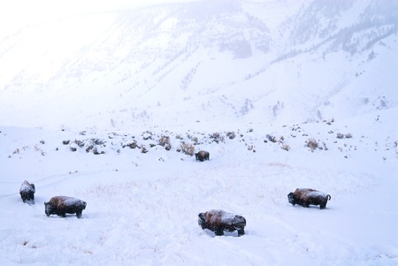 Herd of Buffalo covered in snow in harsh yellowstone winter with mountains in the background photo