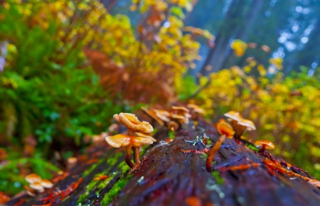 Wild small mushrooms growing out of fallen redwood bark photo