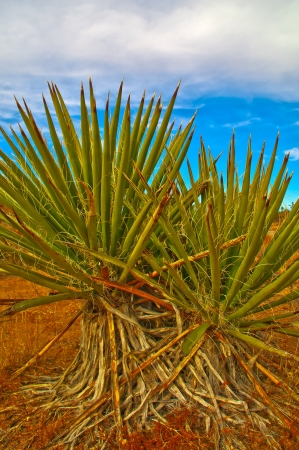 national plant: Yucca Plant in Joshua Tree National Park California