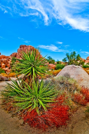 joshua tree national park: Yucca Plant in Joshua Tree National Park California