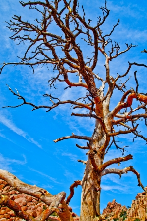 Dry Tree against blue sunny sky in Joshua Tree National Park photo