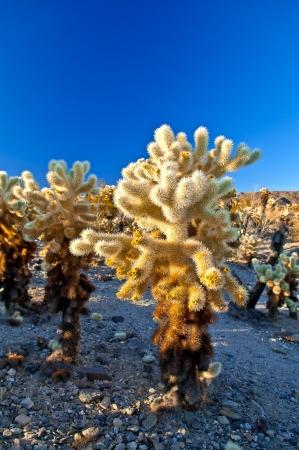 cholla cactus: Field of Ocotillo Cactus in Cholla Cactus Garden - Joshua Tree National Park California
