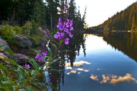 Beautiful Purple Columbine at Sunrise over Dream Lake in Colorado photo